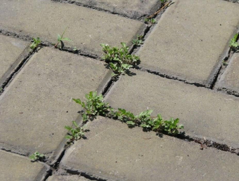 Трава между тротуарной плиткой ФОТО